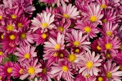 chrysanthemumtextur Royaltyfria Bilder