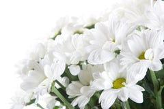 chrysanthemumwhite Royaltyfri Bild