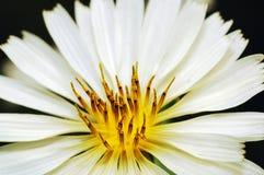chrysanthemumwhite Royaltyfria Bilder