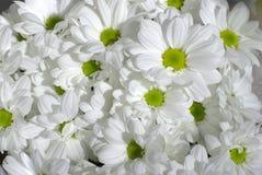 chrysanthemumwhite Royaltyfri Fotografi