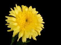 chrysanthemumyellow arkivbilder