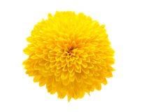 chrysanthemumyellow royaltyfri fotografi