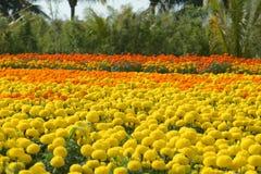 Chrysanthemun Flower for Lunar New Year in Vietnam Royalty Free Stock Photos