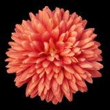 Chrysanthemun vermelho fotos de stock