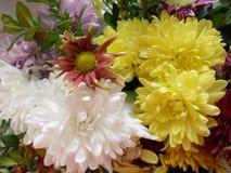 Chrysanthemus. Colorful chrysanthemum with green leaves Stock Photos
