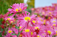 Chrysantheum Arkivfoto