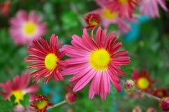 Chrysantheum Royaltyfria Foton
