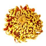 Chrysantheum op wit Royalty-vrije Stock Afbeeldingen