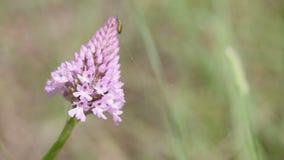 Chrysanthia-nigricornis hört auf einer Anacamptis-pyramidalis wilden Blume pyramidenförmiger rosa Orchidee in der Natur ab stock footage