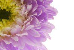 Chrysanthmum Immagini Stock