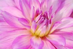 Chrysanthmum Fotografia Stock Libera da Diritti