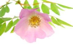 Chrysanthmum Royalty-vrije Stock Fotografie