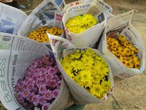 Chrysanthmum photo libre de droits