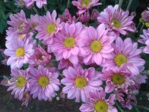 Chrysanthmum images stock