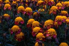 Chrysanths领域 库存照片