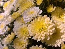 Chrysanths bielu kolor żółty Zdjęcie Royalty Free