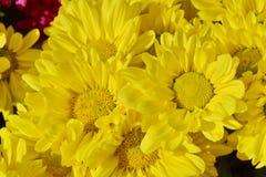 Chrysanths kwiat zdjęcia stock