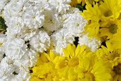 Chrysanths kwiat fotografia stock
