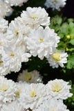 Chrysanths kwiat zdjęcie stock