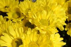 Chrysanths kwiat obrazy stock