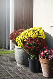 Chrysanths. In the pots near the house Royalty Free Stock Images