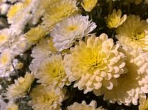 Chrysanths Witte Geel Royalty-vrije Stock Foto
