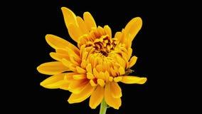Chrysanthsbloem het tot bloei komen stock video