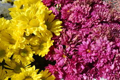 Chrysanthss kwiat obraz stock