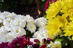 Chrysanthss kwiat obraz royalty free