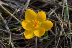 Chrysanthus крокуса Стоковое фото RF