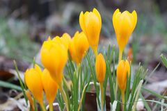 Chrysanthus de crocus Image stock