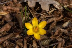 Chrysanthus del azafrán Fotografía de archivo