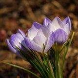 Chrysanthus del azafrán - perla azul Foto de archivo libre de regalías