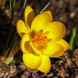 Chrysanthus del azafrán solo Imágenes de archivo libres de regalías