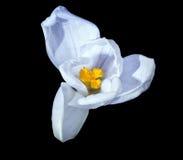 Chrysanthus do açafrão (açafrão da neve) Imagens de Stock