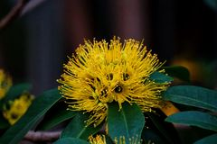 Chrysanthus Xanthostemon Стоковые Изображения