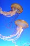 Chrysaora fuscescens jellyfish Royalty Free Stock Photos