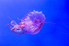 Chrysaora melanaster, Northern sea nettle jellyfish Royalty Free Stock Images