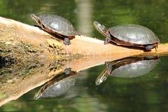 chrysemys målade parpictasköldpaddor Arkivbilder