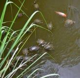 Chrysemys Scripta Elegans, isla de Hainan, China de la tortuga Imagenes de archivo