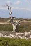 Chrysi island dry cedar near Crete. Greece Royalty Free Stock Images