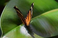 Chrysippus Даная, простая бабочка тигра на зеленых лист Стоковые Изображения RF