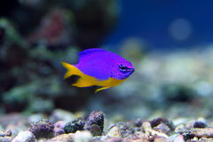 Chrysiptera hemicyanea. Colourful fish in an aquarium Royalty Free Stock Photos