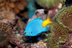Chrysiptera parasema (Goldtail demoiselle) marine fish Stock Photo