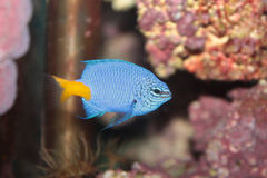 Chrysiptera parasema (Goldtail demoiselle) marine fish Stock Photos