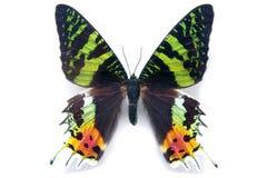 蝴蝶飞蛾在白色背景的Chrysiridia rhipheus。从Ma 免版税库存照片