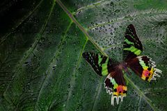 Chrysiridia rhipheus, Madagascan sunset moth, beautiful green and black butterfly sitting on green leaves, endemic in Madagascar. Stock Photo