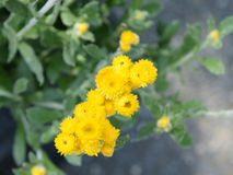 Chrysocephalum apiculatum 'Silver and Gold' Stock Image