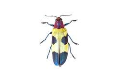 Chrysochroa buqueti. Colorful of Exotic jewel beetle Chrysochroa buqueti royalty free stock photo