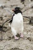 Chrysocome do Eudyptes do pinguim de Rockhopper fotografia de stock royalty free